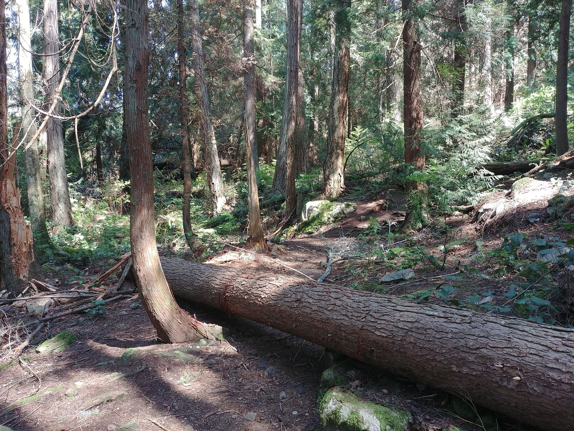 Lighthouse Park - 01 - Fallen tree across the trail